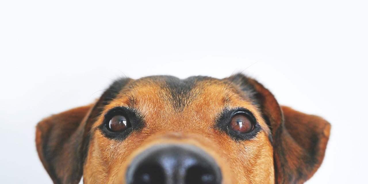 Comment Calculer Age Chien comment calculer « l'âge humain » d'un chien ? - journal des bonnes