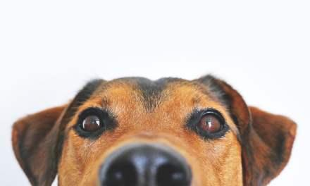 Comment calculer « l'âge humain » d'un chien ?