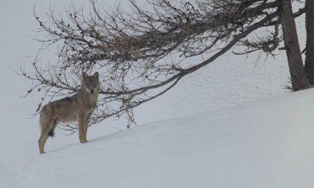 Soutenez Jean-Michel Bertrand pour son nouveau film « La Marche des Loups » !