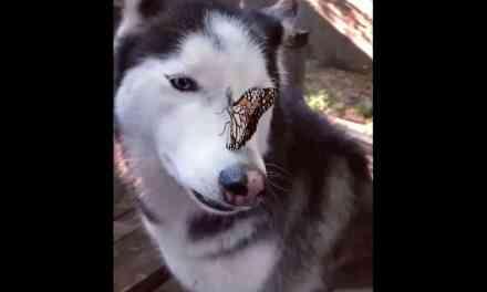 Un papillon s'est posé sur Cymber le Husky Star et elle ne savait pas quoi faire . Viral