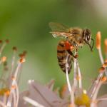 Un vaccin pour les abeilles face à « l'apocalypse des insectes »