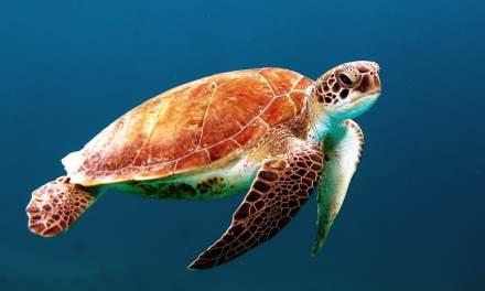 La ponte des tortues marines au Costa Rica