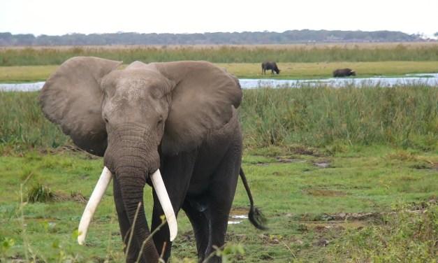 Des abeilles pour protéger les champs du passage des éléphants
