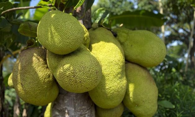 Ce super-fruit pourrait être un remède contre la faim dans le monde. Voici ses propriétés.