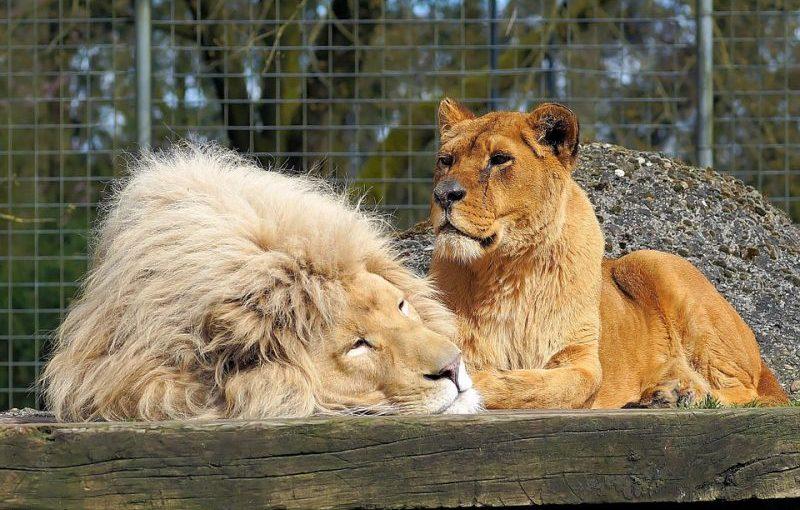 El león no es el rey de la vida