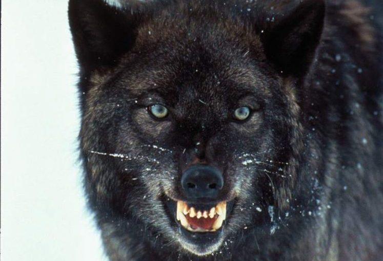 ¡No es perro, es lobo!