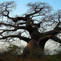 bienfaits du baobab