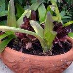 Stunted lettuce heads grow among amaryllis bulbs