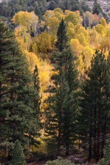 Our next stop was along Bishop Creek, where we got up close to some aspens.