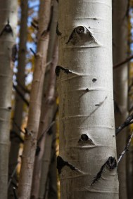 These eye-shaped marks on the trunk appear after small, lower branches fall off the main trunk. This is one of the ways you can identify aspens and others in their family.