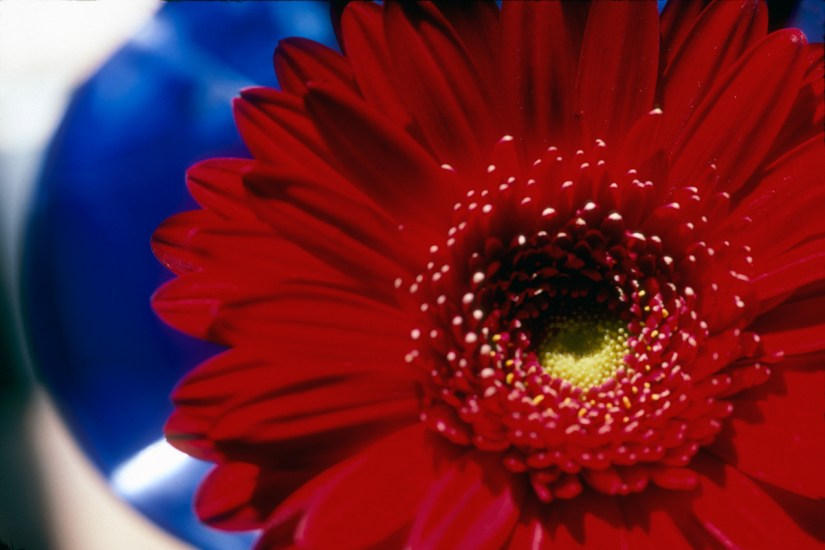 red_gerbera_blue_vase.wrk