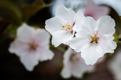 Sakura (Coming Soon)