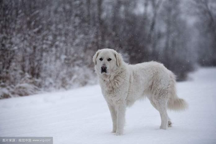 大白熊犬 [ Dà báixióng quǎn ต้าป๋ายฉงเฉวี่ยน ] เกรท ไพรีนีส Great Pyrenees
