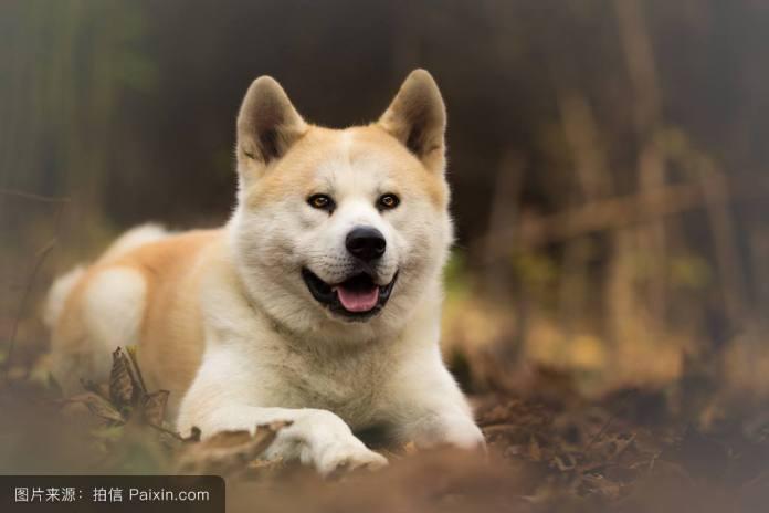 秋田犬 [ Qiūtián quǎn ชิวเถียนเฉวี่ยน ] อะคิตะ Akita