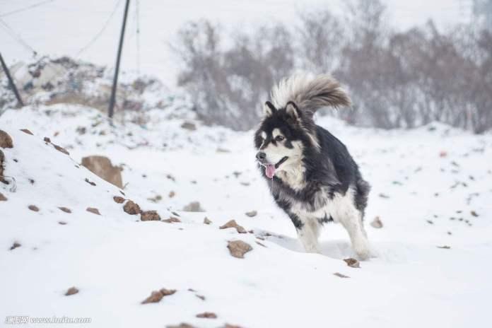 阿拉斯加雪橇犬 [ Ālāsījiā xuěqiāo quǎn อาลาซือเจียเฉวี่ยเชียวเฉวี่ยน ] อลาสกัน มาลามิวท์ Alaskan Malamute