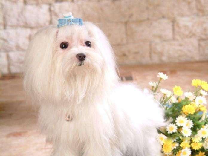马尔济斯犬 [ Mǎ'ěr jì sī quǎn อาลาซือเจียเฉวี่ยเชียวเฉวี่ยน ] มอลทีส Maltese