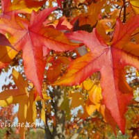 Fall Foliage of New England