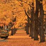 Maples in a row in Edgewood Cemetery