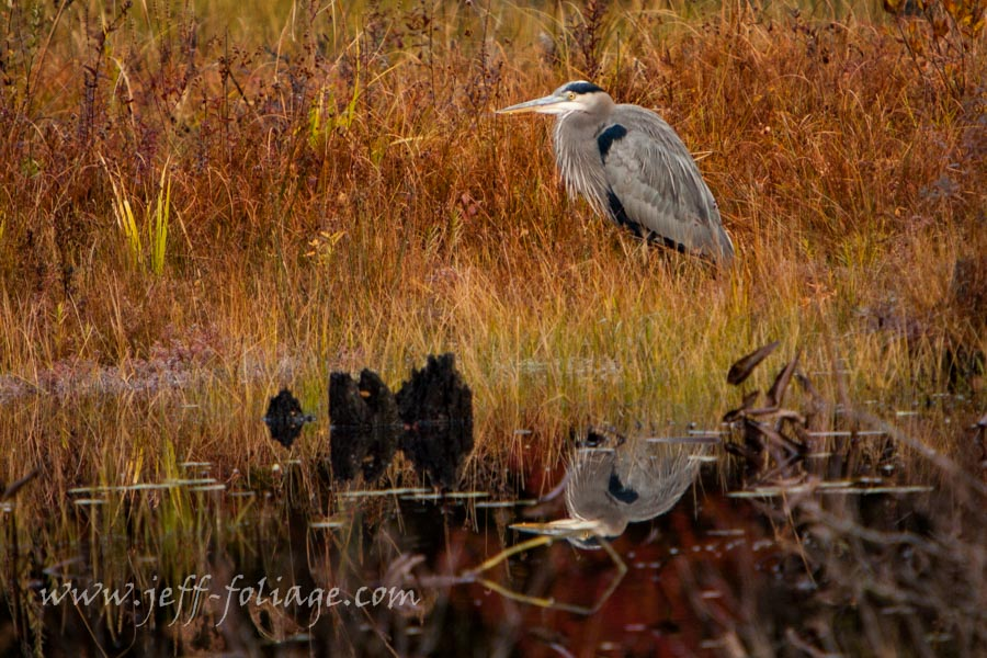 Blue heron #Vistaphotography #JeffFolger in a wetland in autumn colors
