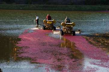 the red berries float after growing all summer. Then the bogs are filled with water and a special tractor goes up and down the rows with blades to knock the berries off the bushes. Then the floating berries are gathered up.