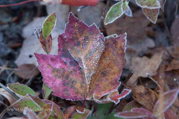 A stripped maple leaf rimmed in frost on an early morning walk.