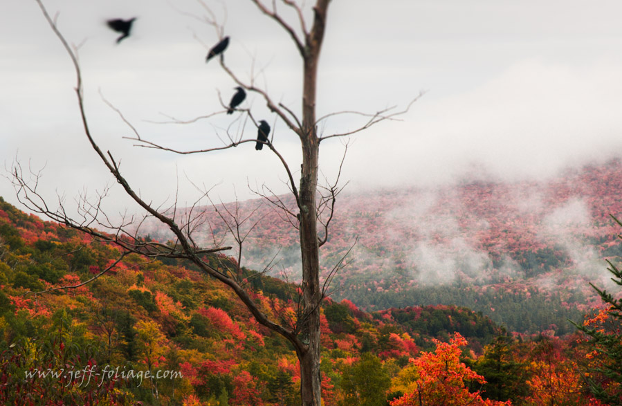 Crows sit in dead tree with the Kinsman south Mountain peak and sugar hill NH all in bright red maples in the distancs