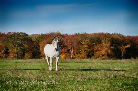 A draft horse takes a walk in the Rhode Island field