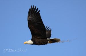 Ashokan eagle
