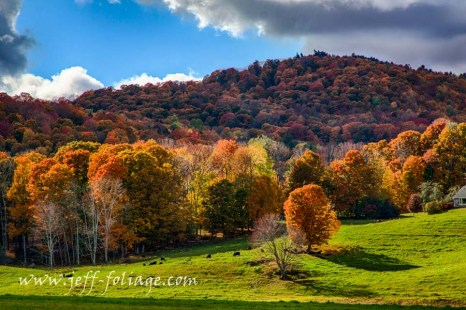 The Vermont fall foliage with cows relaxing in the shade on a hillside of Vermont autumn colors