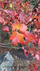 New England fall Foliage of Red Maple leaves