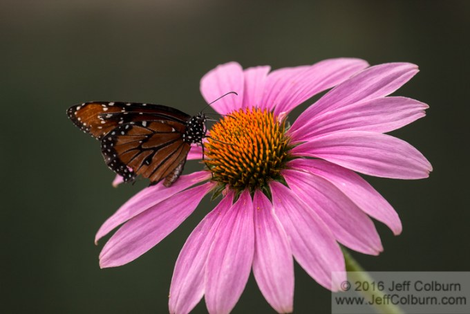 Monarch Butterfly on Echinacea (Purple Coneflower)