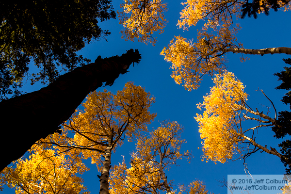 Aspens on the Kachina Trail