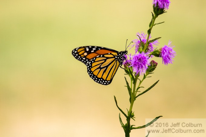 Butterfly – The Arboretum at Flagstaff – FlagArboretum0110