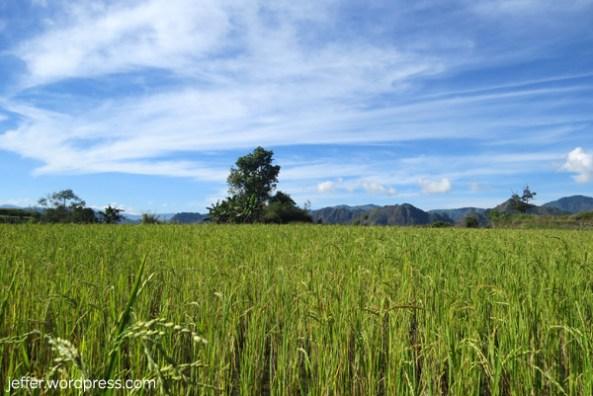 The rice fields of Beleng-Bilis.