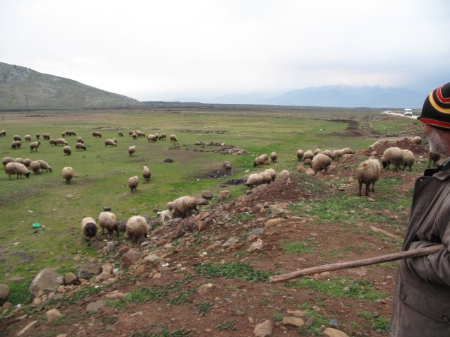 A local shepard and his flock on the side of the road in Yolbasi