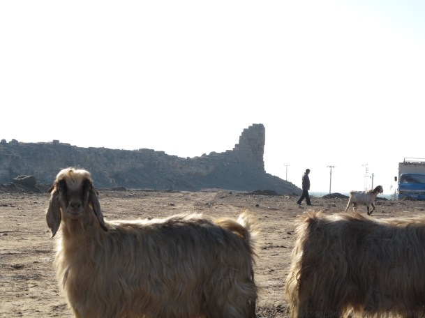 Goats in Harran