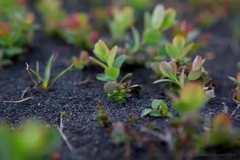 Plants growing through the volcanic ash