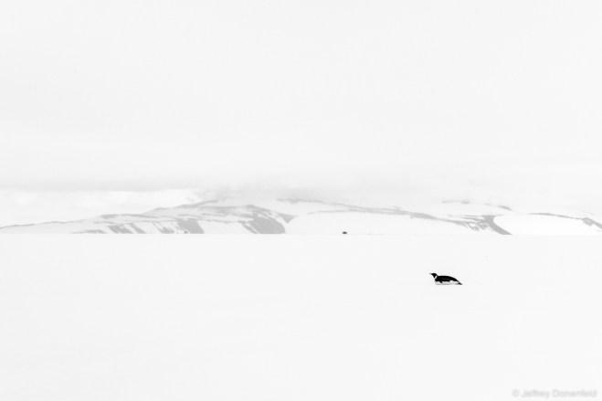 A lone Emperor Penguin glides across the frozen sea ice.