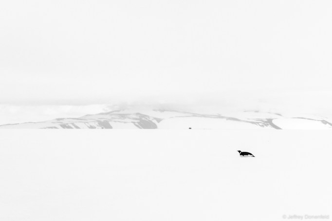 A lone Emperor Penguin glides across the frozen sea ice.