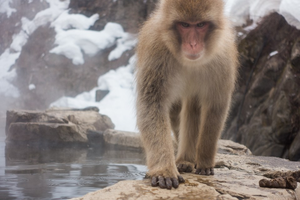 Snow monkeys love hanging out in the warm onsen. Only for monkeys though!