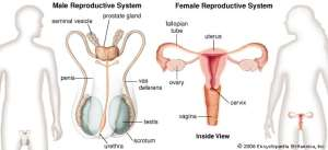 genital system changes