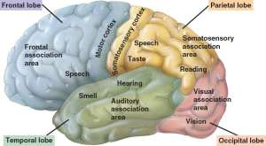 Cerebral Cortex depiction