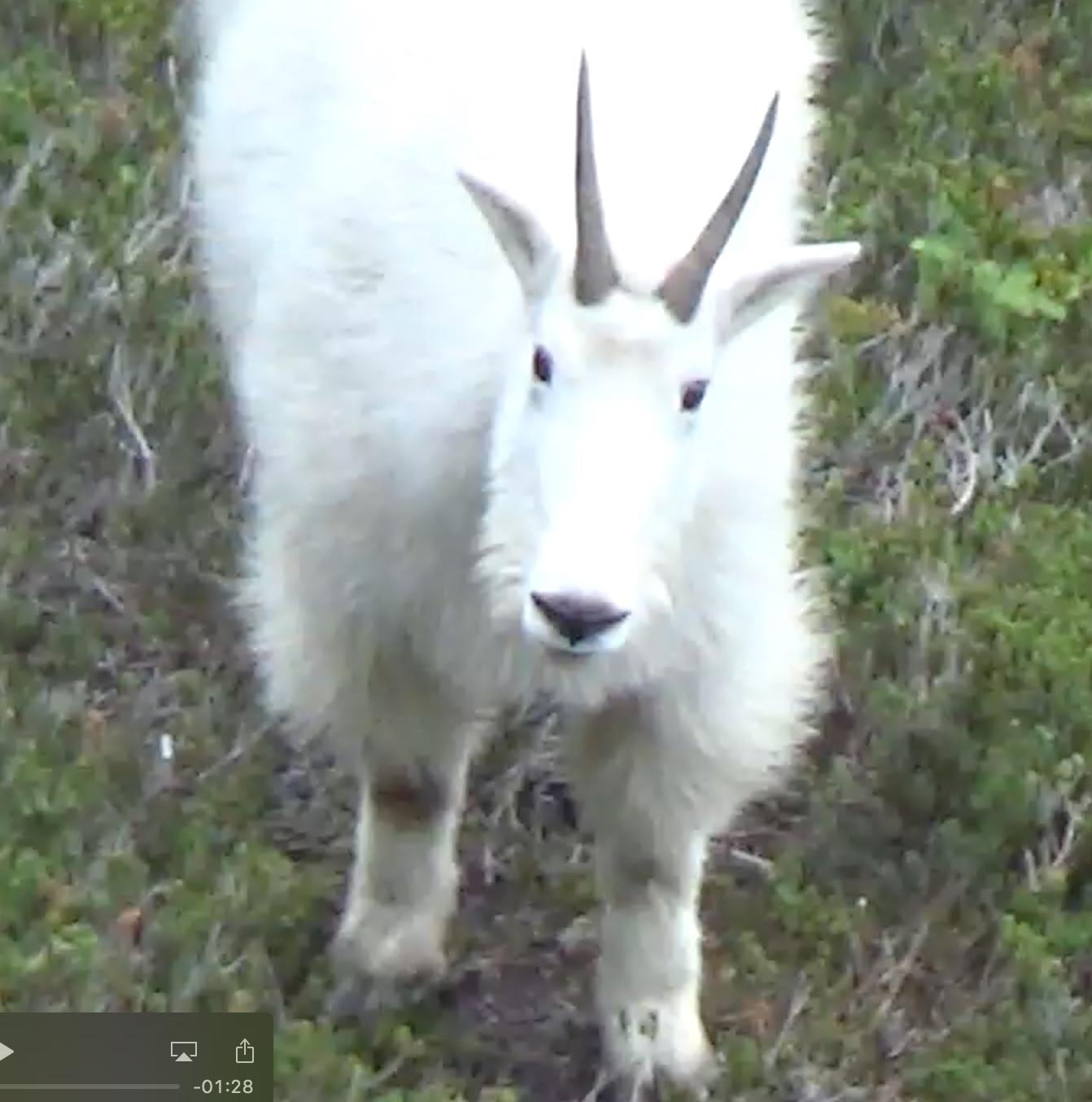 Photo of Mountain Goat ©2017 www.JeffRyanAuthor.com