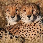 A Coalition of Cheetah