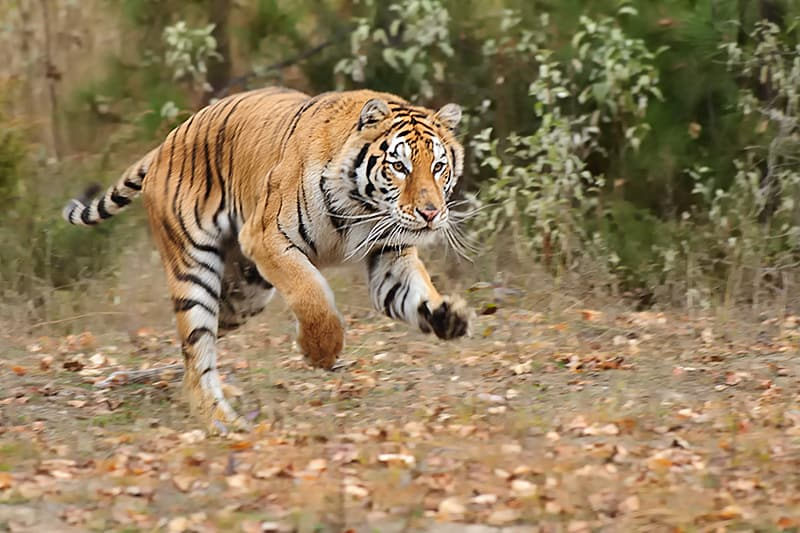 Running tiger photographed by Jeff Wendorff