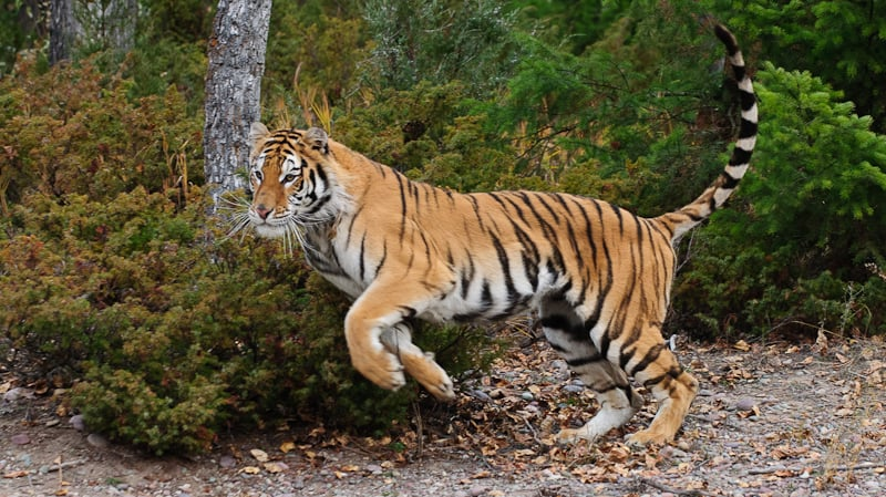 Tiger running in the forest photographed by Jeff Wendorff