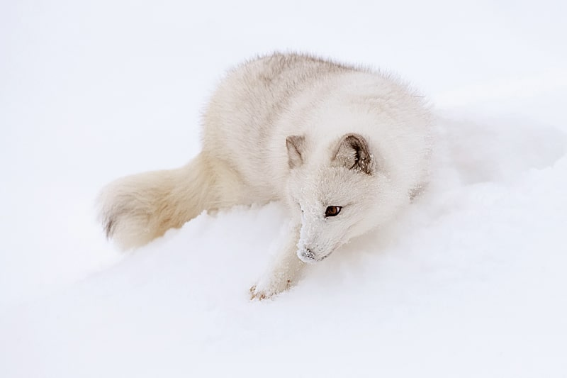 Arctic Fox on a snow bank playing on a snow bank photographed by Jeff Wendorff