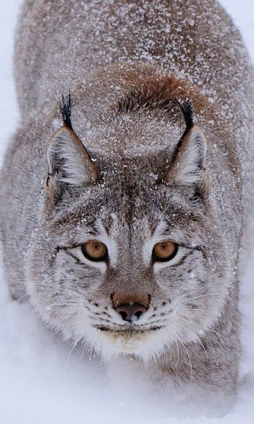Up close with a Eurasian Lynx photographed by Jeff Wendorff