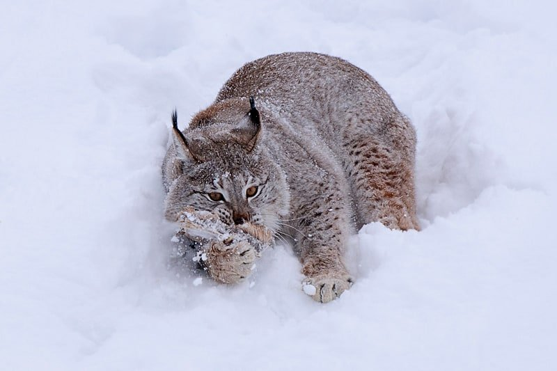 Eurasian Lynx hanging out in the snow photographed by Jeff Wendorff