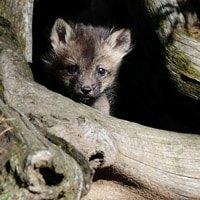 Red Fox Kits Baby Wildlife Photography Workshop